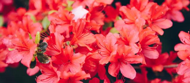 Dufterlebnis-Reise zur Rhododendronblüte – Mai2019