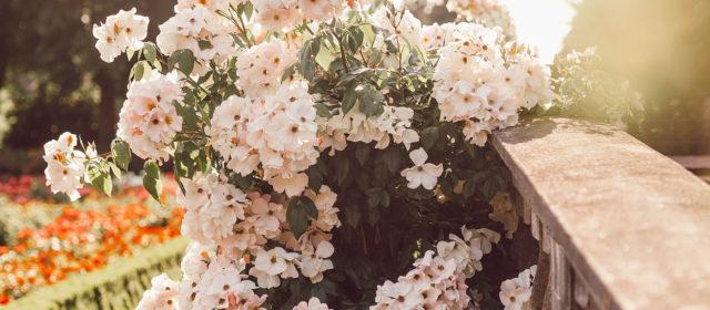 """Erlebnistag """"Königin der Blumen"""" in der Rosenstadt Eltville am Rhein – Juni 2019"""
